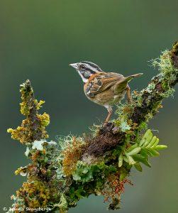8903 Rufous-collared Sparrow (Zonotrichia capensis), Costa Rica