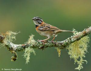 8873 Rufous-collared Sparrow (Zonotrichia capensis), Costa Rica