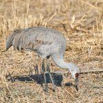 8363 Sandhill Crane (Grus canadensis), Bosque del Apache, NM