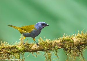 9029 Blue-capped Tanager (Thraupis cyanocephala), Ecuador