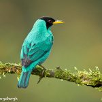 8913 Male Green Honeycreeper (Chlorophanes spiza), Costa Rica