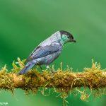 9030 Black-capped Tanager (Tangara heinei), Ecuador