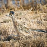 8364 Greater Roadrunner (Geococcyx californianus), Bosque del Apache, NM