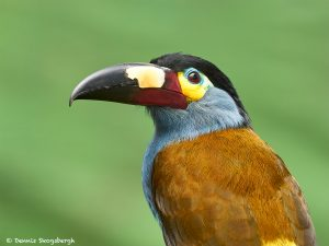 9031 Plate-billed Mountain Toucan (Andigena laminirostris), Ecuador
