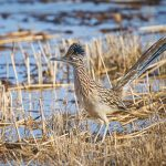 8365 Greater Roadrunner (Geococcyx californianus), Bosque del Apache, NM