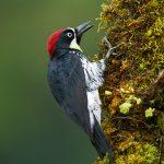 8805 Acorn Woodpecker (Melanerpes formicivorus), Costa Rica