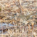 8371 Greater Roadrunner (Geococcyx californianus), Bosque del Apache, NM