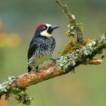 8806 Acorn Woodpecker (Melanerpes formicivorus), Costa Rica