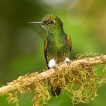 9033 Buff-tailed Coronet (Boissonneauna flacescens), Ecuador