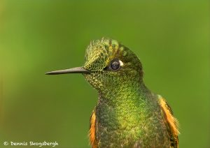 9034 Buff-tailed Coronet (Boissonneauna flacescens), Ecuador