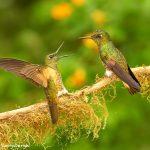 9035 Buff-tailed Coronet (Boissonneauna flacescens), Ecuador