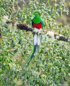 8807 Resplendent Quetzal (Pharomachrus mocinno), Costa Rica