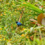 9014 Masked Flowerpiercer (Diglossopis cyanea), Ecuador
