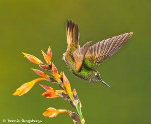 9036 Buff-tailed Coronet (Boissonneauna flacescens), Ecuador