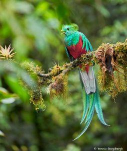 8808 Resplendent Quetzal (Pharomachrus mocinno), Costa Rica