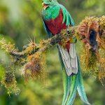 8809 Resplendent Quetzal (Pharomachrus mocinno), Costa Rica