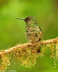 9038 Buff-tailed Coronet (Boissonneauna flacescens), Ecuador