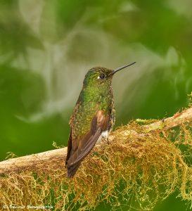 9039 Buff-tailed Coronet (Boissonneauna flacescens), Ecuador