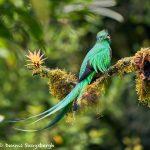8810 Resplendent Quetzal (Pharomachrus mocinno), Costa Rica