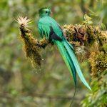 8812 Resplendent Quetzal (Pharomachrus mocinno), Costa Rica