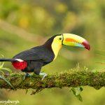 8917 Keel-billed Toucan (Ramphastois sulfuratus), Costa Rica