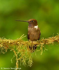 9042 Brown Inca (Coeligena wilsoni), Ecuador