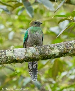 8813 Female Resplendent Quetzal (Pharomachrus mocinno), Costa Rica