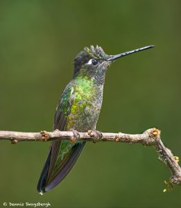 8839 Talamanca Hummingbird (Eugenes spectabilis), Costa Rica