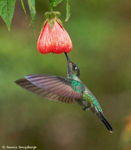 8840 Talamanca Hummingbird (Eugenes spectabilis), Costa Rica