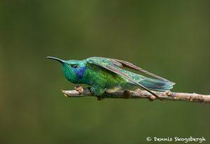 8817 Lesser Violet-ear (Colibri cyanotus), Costa Rica