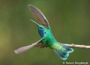 8819 Lesser Violet-ear (Colibri cyanotus), Costa Rica