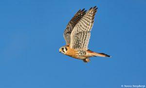 8373 American Kestrel (Falco sparverius), Bosque del Apache, NM