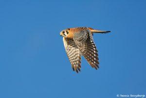 8374 American Kestrel (Falco sparverius), Bosque del Apache, NM