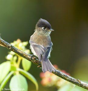 8841 Black-capped Flycatcher (Empidonax atricep), Costa Rica