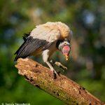 8918 King Vulture (Sarcoramphus papa), Laguna del Lagarto Lodge, Costa Rica