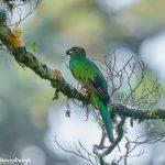 8842 Resplendent Quetzal (Pharomachrus mocinno), Costa Rica