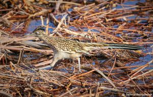 8378 Greater Roadrunner (Geococcyx californianus), Bosque del Apache, NM