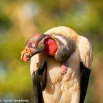 8919 King Vulture (Sarcoramphus papa), Laguna del Lagarto Lodge, Costa Rica