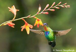 8823 Fiery-throated Hummingbird (Panterpe insignis), Costa Rica Volcano Hummingbird (Selasphorus flammula), Costa Rica