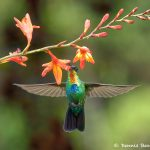 8824 Fiery-throated Hummingbird (Panterpe insignis), Costa Rica