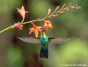 8824 Fiery-throated Hummingbird (Panterpe insignis), Costa Rica