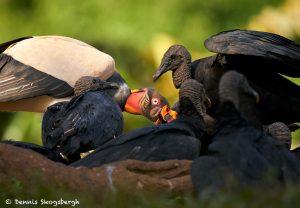 8920 King Vulture (Sarcoramphus papa), Laguna del Lagarto Lodge, Costa Rica