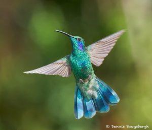 8820 Lesser Violet-ear (Colibri cyanotus), Costa Rica