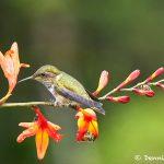 8822 Volcano Hummingbird (Selasphorus flammula), Costa Rica