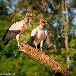 8921 King Vulture (Sarcoramphus papa), Laguna del Lagarto Lodge, Costa Rica