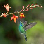 8821 Lesser Violet-ear (Colibri cyanotus), Costa Rica
