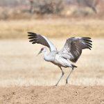 8423 Sandhill Crane (Grus canadensis), Bosque del Apache, NM