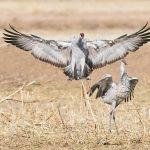 8383 Sandhill Cranes (Grus canadensis), Bosque del Apache, NM