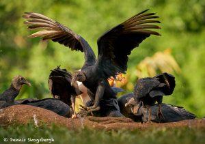 8922 King Vulture (Sarcoramphus papa), Laguna del Lagarto Lodge, Costa Rica