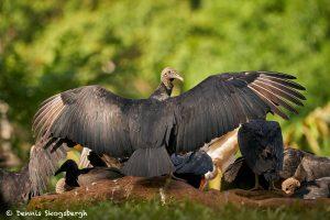 8923 King Vulture (Sarcoramphus papa), Laguna del Lagarto Lodge, Costa Rica